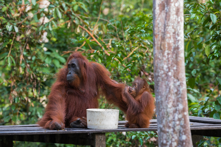 pongo: Mama orangutan and her baby sitting on a wooden platform and eating (Borneo  Kalimantan, Indonesia)