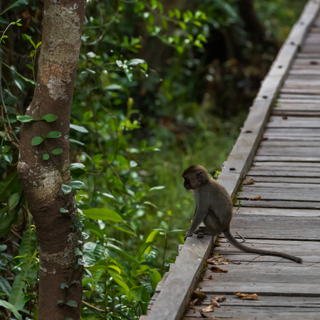 Little thoughtful cynomolgus monkeys sitting on the edge of a wooden deck near a tree (Borneo  Kalimantan, Indonesia)