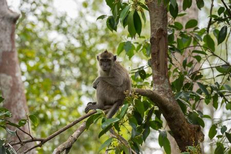 Grey cynomolgus looks reproachfully, sitting on a branch (Borneo  Kalimantan, Indonesia)
