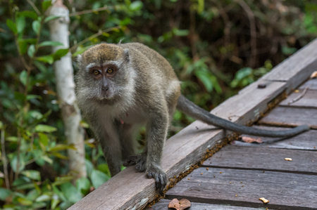 primates: Grey cynomolgus goes along the edge of a wooden deck, dragging his long thin tail (Borneo  Kalimantan, Indonesia) Stock Photo