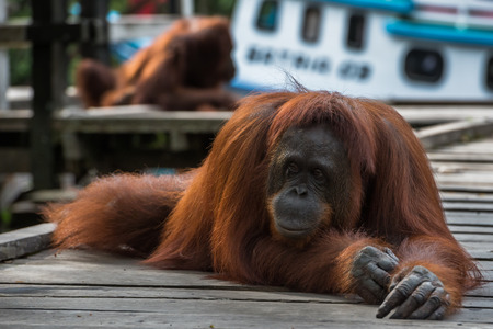 indonesian biodiversity: Wise red orangutan lies on a wooden platform with his back up against the backdrop of the boat and crossed in front of forepaws (Borneo  Kalimantan, Indonesia) Stock Photo
