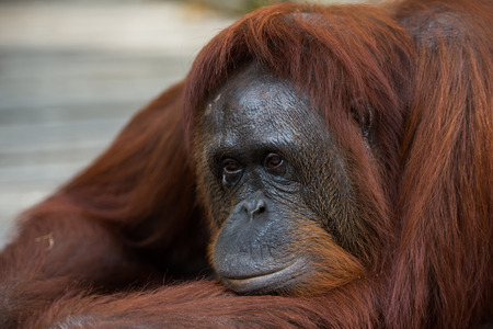 A large red orangutan pensive lying on a wooden platform (Borneo  Kalimantan, Indonesia) Stock Photo