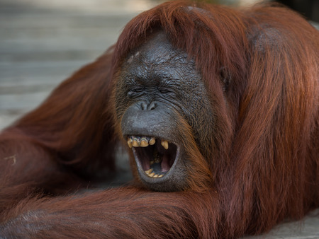 A large red orangutan lying on a wooden platform and yawns widely, showing his yellow teeth (Borneo  Kalimantan, Indonesia) Stock Photo