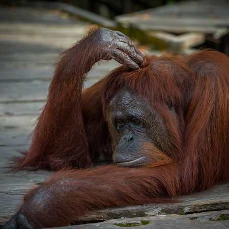 A large red orangutan lying on a wooden platform and thoughtfully scratching his head his front paw (Borneo  Kalimantan, Indonesia) Stock Photo