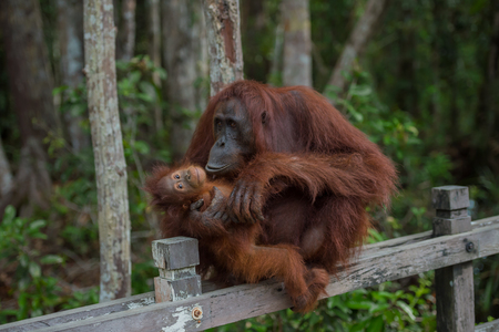 Mama orangutan with her baby silit on a wooden fence, without losing balance (Borneo  Kalimantan, Indonesia)