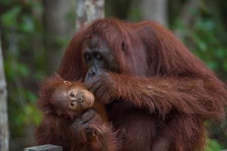 木製のフェンスと赤ちゃんノミを探して彼女の赤ちゃん silit とママ オランウータン (ボルネオ島インドネシア ・ カリマンタン)