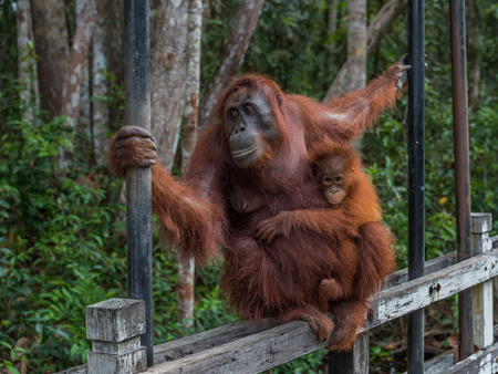 indonesian biodiversity: Mama orangutan with her baby silit on a wooden fence and keeps both hands support (Borneo  Kalimantan, Indonesia)