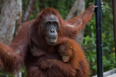 Baby orangutan gently pressed to his good mother (Borneo  Kalimantan, Indonesia)