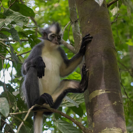 Grey Langur Thomas is sitting on a branch of a thick tree trunk and is backed on the paw (Sumatra, Indonesia)