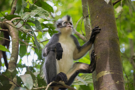 Grey Langur sits on Thomas Werke Tolt tree trunk and is backed on the foot and looking up (Sumatra, Indonesia) Stock Photo