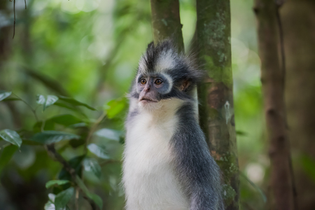 Langur Thomas paused and stares away (Sumatra, Indonesia)