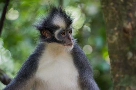 Thomas Langur looking away, side view (Sumatra, Indonesia)