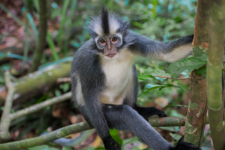 Nice Langur Thomas looks at the camera and holding on to a tree, sitting on driftwood (Sumatra, Indonesia) Stock Photo