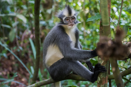 indonesian biodiversity: Nice Thomas Langur sits on a branch high above the ground (Sumatra, Indonesia) Stock Photo