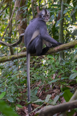 Nice Thomas Langur sits on a branch high above the ground and its tail hanging below it (Sumatra, Indonesia) Stock Photo