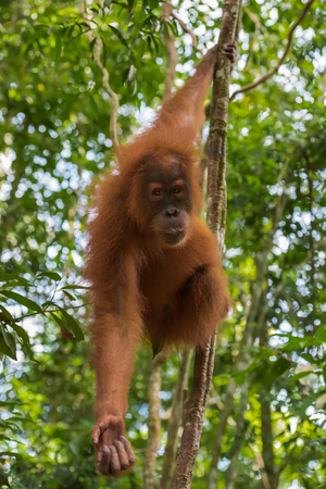Adult orangutan reaches out and holds the other for the branch (Sumatra, Indonesia)