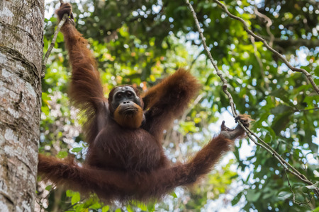pongo: Adult orangutan keeps for a branch and paws scratching the back (Sumatra, Indonesia)