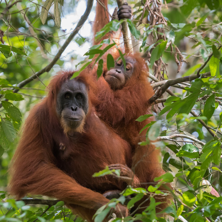 Two adult orangutan sitting among green leaves (Sumatra, Indonesia)