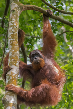 Auburn orangutan hanging from a tree and looking sideways (Sumatra, Indonesia)