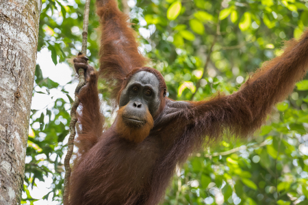 Adult orangutan hanging from a tree on a background of green leaves close-up (Sumatra, Indonesia) Stock Photo