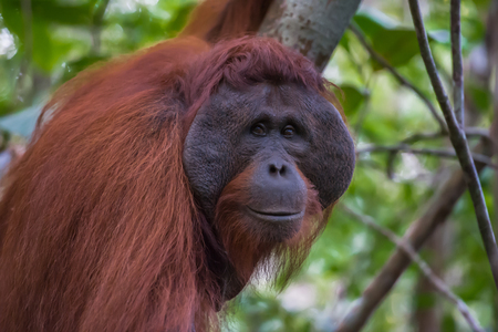 Auburn orangutan Pongo with a broad muzzle close-up (Borneo, Indonesia) Stock Photo