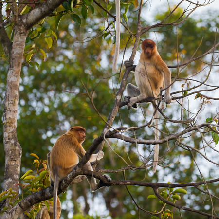 A pair of Dutch Monkey sit on a high tree (Kumai, Indonesia) Stock Photo