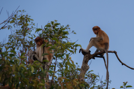 A pair of Dutch Monkey sitting on a branch of a tall tree on blue sky background (Kumai, Indonesia)