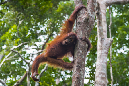 peers: Playful red-haired teenager orangutan peers from behind a tree and apes (Kumai, Indonesia) Stock Photo