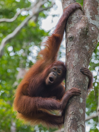 indonesian biodiversity: Young orangutan playful sports on a high tree in the rainforest (Kumai, Indonesia)