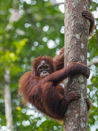 republik: Cute redhead teen orangutan grabbed the tree and looks away (Kumai, Indonesia) Stock Photo