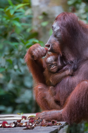 Mama orangutan with her baby sitting on a wooden platform and eats rambutan (Kumai, Indonesia)
