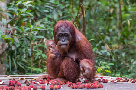 Mother orangutan looks down and eats rambutan and sitting with her baby on a wooden platform in a green rainforest (Kumai, Indonesia) Stock Photo