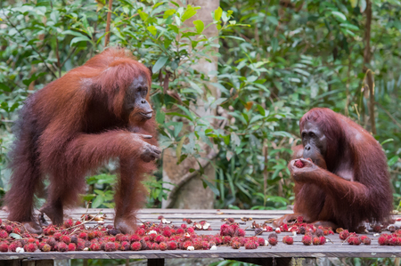 indonesian biodiversity: Two strong orangutan sitting on a wooden platform and eat rambutan on a background the rainforest (Kumai, Indonesia) Stock Photo