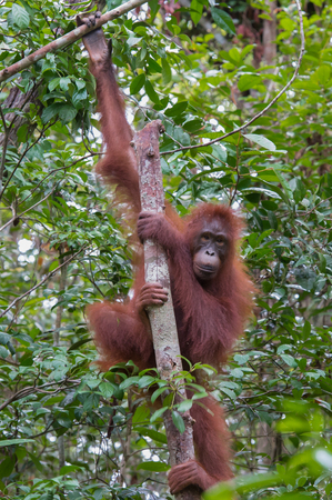 Orangutan grabbed her long limbs wood and looking straight on a background the jungle (Kumai, Indonesia)