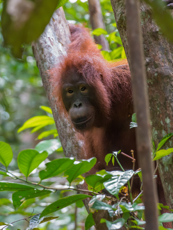 indonesian biodiversity: Brown-eyed orangutan peers from behind a tree amongst lush jungle (Kumai, Indonesia) Stock Photo