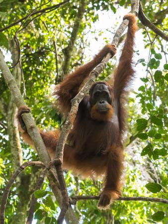 Quiet adult orangutan hanging on a branch among green jungle (Bohorok, Indonesia) Stock Photo
