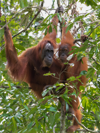 Two quiet adult orangutan hanging on a branch among green jungle (Bohorok, Indonesia) Stock Photo