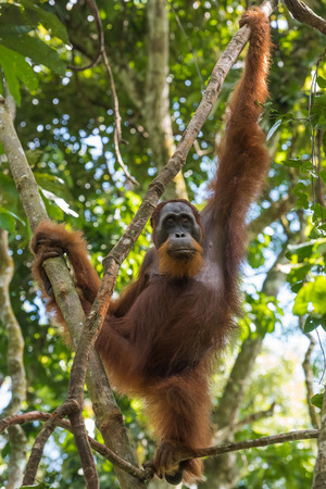 Quiet adult orangutan looking thoughtfully into the distance and hang on the tree (Bohorok, Indonesia)