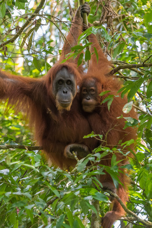 Two quiet adult orangutan hanging close together on a branch among green jungle (Bohorok, Indonesia)