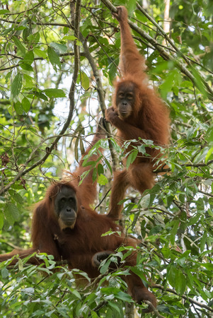 Two brown-eyed adult orangutan hanging on the branches of the green jungle (Bohorok, Indonesia)