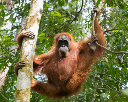 pongo: Quiet adult orangutan hanging from a tree, and demonstrates the dexterity of hands and feet (Bohorok, Indonesia) Stock Photo