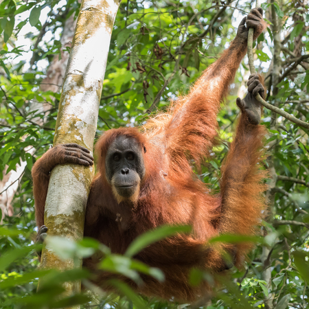 Quiet adult orangutan hanging on tree limbs and demonstrates agility on a background of green leaves (Bohorok, Indonesia)