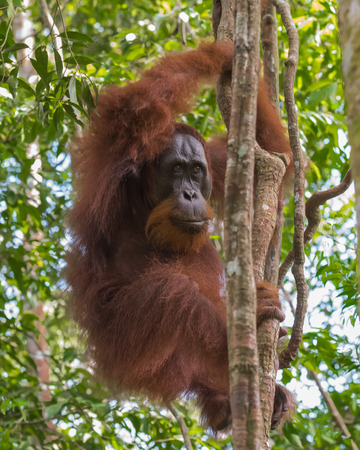indonesian biodiversity: Adult furry orangutan hanging from a tree and looks into the distance (Bohorok, Indonesia)