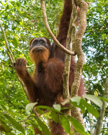 Adult furry orangutan hanging from a tree, and breakfast in the wilds of the jungle (Bohorok, Indonesia)