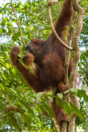 indonesian biodiversity: Adult hairy orangutan hanging from the branches against a background of evergreen jungle (Bohorok, Indonesia) Stock Photo