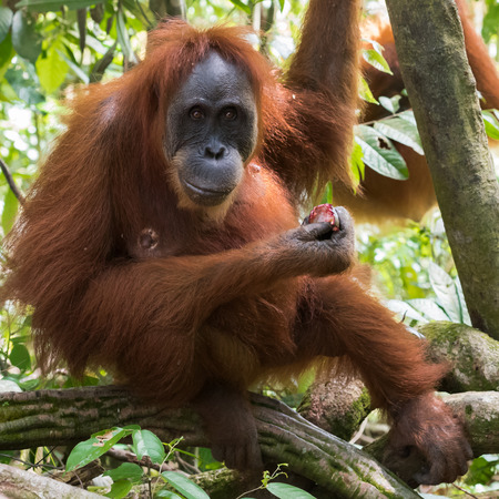indonesian biodiversity: Adult hairy orangutan dine and hang on the branches on the background of evergreen jungle (Bohorok, Indonesia) Stock Photo