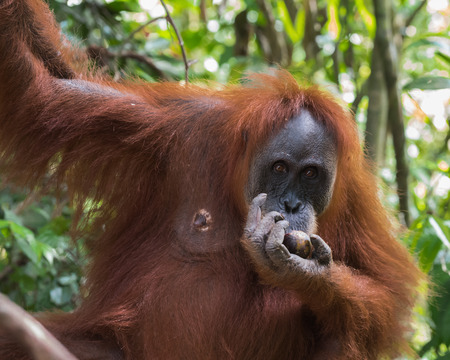 hairy closeup: Adult hairy orangutan dine and hang on the branches on the background of evergreen jungle - close-up (Bohorok, Indonesia)