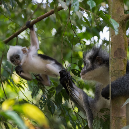 indonesian biodiversity: Mom and baby Thomas langurs sitting on a branch and looks among the leaves in the thick jungle (Bohorok, Indonesia)