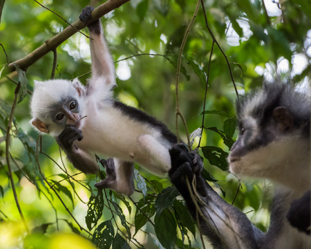 Mother and cute kid Thomas langurs sitting on a branch and looks among the leaves in the thick jungle (Bohorok, Indonesia)