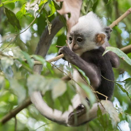 Thomas langurs Kid plays on a branch and looks among the leaves in the thick jungle (Bohorok, Indonesia) Stock Photo